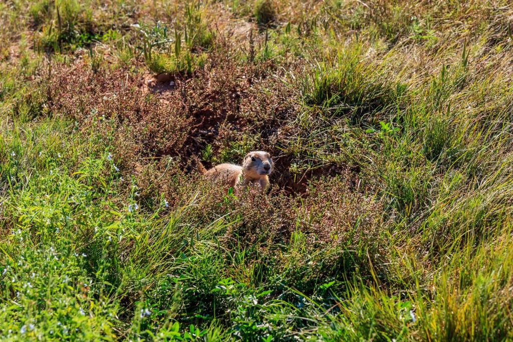Devil's Tower prairie dog