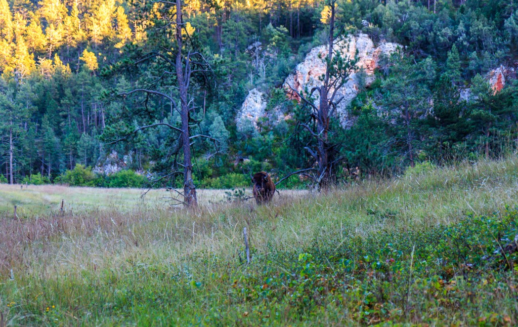 A buffalo guards the trail
