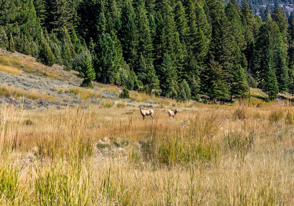 Elk on the trail