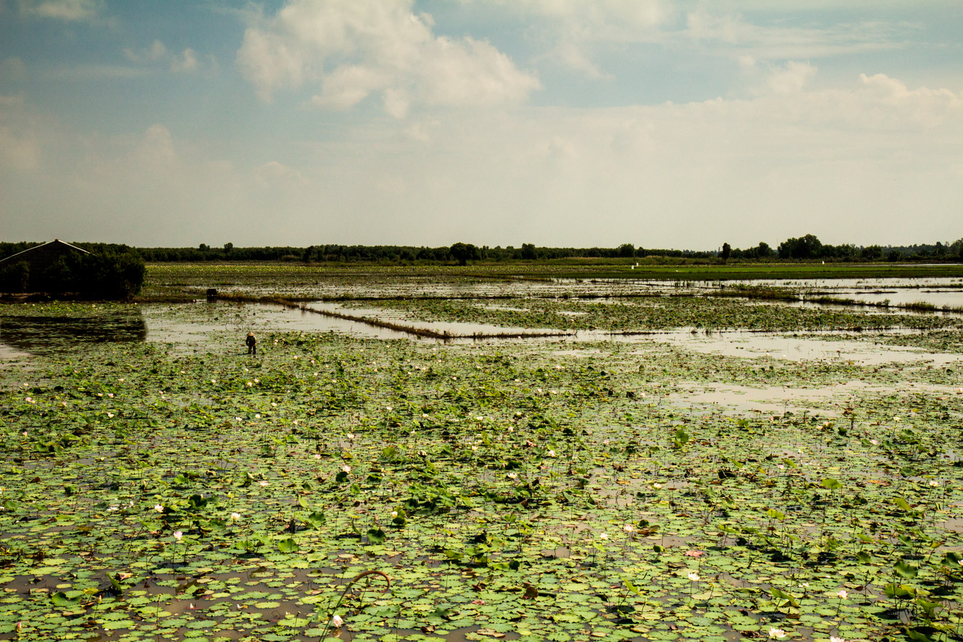 At work in the lotus fields.
